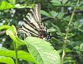 Zebra Butterfly profile. 7.3.11 046.jpg