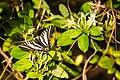 Zebra swallowtail (34163030126).jpg