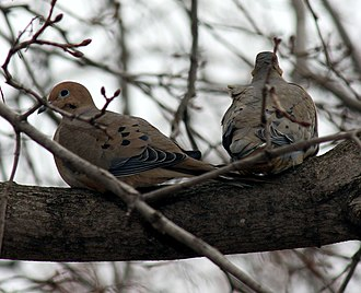 Mourning dove - Pair of doves in late winter in Minnesota