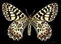 Zerynthia polyxena MHNT CUT 2013 3 8 Male Dos Montferrier-sur-Lez.jpg