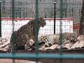 Zoo des 3 vallées - Panthère des neiges - 2015-01-02 - i3428.jpg