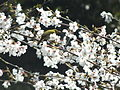 Zosterops japonicus-メジロ Japanese White-eye and Sakura DSCF5462.JPG