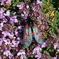 Zygaena filipendulae ssp. stephensi (Six-spot Burnet) - Flickr - S. Rae.jpg