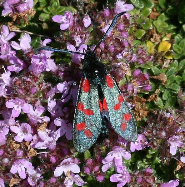 File:Zygaena filipendulae ssp. stephensi (Six-spot Burnet) - Flickr - S. Rae.jpg