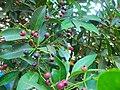 """+arya+' Buah pohon pucuk merah - Pilangsari 2020 1.jpg"