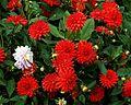 'Decorative' red Dahlia.jpg