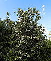 'Philadelphus coronarius' - Mock Orange at Shipley, West Sussex, England.JPG