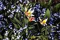 'Tulipa kaufmanniana' tulip in 'Chionodoxa luciliae' Glory of the snow, at Capel Manor College Gardens Enfield London England.jpg
