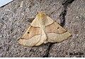(1921) Scalloped Oak (Crocallis elinguaria) (3185159274).jpg
