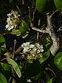 (ALB) P. communis - flower-4.jpg