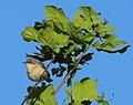 Ärtsångare Lesser Whitethroat (14503016983).jpg