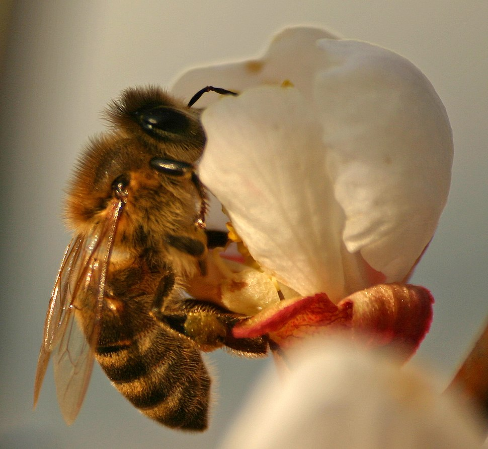 %C4%8Cebela na cvetu marelice