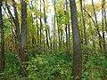 Šuma poljskog jasena (Fraxinus angustifolia), Narrowed-leaved ash forest.jpg