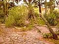 Πεσμένο δέντρο από δυνατό αέρα - panoramio.jpg