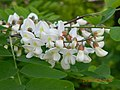 Акація біла. Суцвіття з квітками та пуп'янками. Київ. Гора Щекавиця.JPG