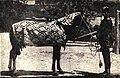 Карабахский конь, подаренный княжне Ксении Александровне.jpg