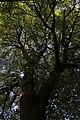 Озернянські липи, 61-226-5023.jpg
