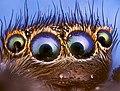 Оптика паука-скакуна.jpg