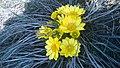 Первые цветы (Адонис весенний). Чистопольский р-н. РТ. Апрель 2014 - panoramio.jpg