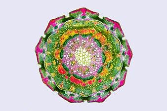 Поперечный срез побега Casuarina equisetifolia.jpg