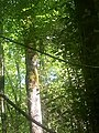 Сказочная тисо-самшитовая роща.jpg