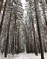 Снежный день в бору.jpg
