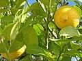 Созревшие лимоны.jpg