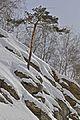 Сосна - panoramio (5).jpg
