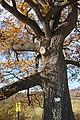Споменик природе - стабло храста цера у Доњој Црнући крај Горњег Милановца 04.jpg