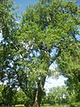 Тополя в парку Яблунева, Тернопільська область.jpg