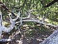 Яблуня-колонія у місті Кролевець.jpg