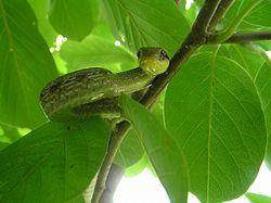 Aasian käärme suku puoli