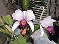 卡特蘭屬 Cattleya schroderae -香港沙田國蘭展 Shatin Orchid Show, Hong Kong- (9198103363).jpg