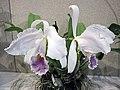 卡特蘭屬 Cattleya warneri v coerulea -香港沙田國蘭展 Shatin Orchid Show, Hong Kong- (9200883576).jpg
