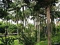 厦门大学芙蓉湖旁椰林 - panoramio.jpg