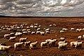 在可可西里东部牧羊【路人】 - panoramio.jpg