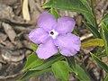 大花番茉莉 Brunfelsia pauciflora -香港迪欣湖 Inspiration Lake, Hong Kong- (9255176310).jpg