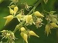 巴西橡膠樹 Hevea brasiliensis -香港公園 Hong Kong Park- (9216082544).jpg