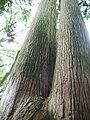 幣立神宮の双子杉 - panoramio.jpg