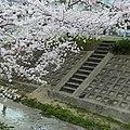 柳田川の桜 2012.4.07 - panoramio.jpg