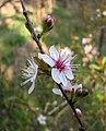 櫻桃李 Prunus cerasifera -南京中山植物園 Nanjing Botanic Garden, China- (33470154606).jpg