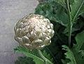 漏盧屬 Rhaponticum heleniifolium v bicknellii -哥本哈根大學植物園 Copenhagen University Botanical Garden- (36326810514).jpg