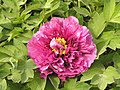 牡丹-菊花型 Paeonia suffruticosa Daisy-series -洛陽牡丹公園 Luoyang, China- (9204833445).jpg