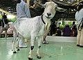 目線をくれたヤギ - panoramio.jpg