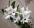 石斛蘭 Dendrobium Nagasaki -香港沙田國蘭展 Shatin Orchid Show, Hong Kong- (25164032465).jpg