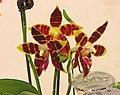 蝴蝶蘭屬 Phalaenopsis amboinensis x (violacea x tetraspis) -台南國際蘭展 Taiwan International Orchid Show- (39128279390).jpg