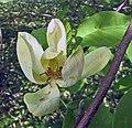 黃尖頭玉蘭 Magnolia 比利時國家植物園 Belgium National Botanic Garden- (9216128542).jpg