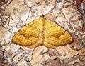 -1742- Yellow Shell (Camptogramma bilineata) (43411581535).jpg