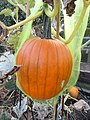 -2019-09-01 Field pumpkin, Trimingham, Norfolk (2).JPG