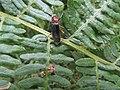 -2020-06-10 A rare saproxylic beetle (Dermestoides sanguinicollis), Trimingham, Norfolk.JPG